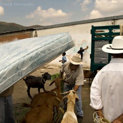 Sunday sheep, goat and pig market, Oaxaca, 2007